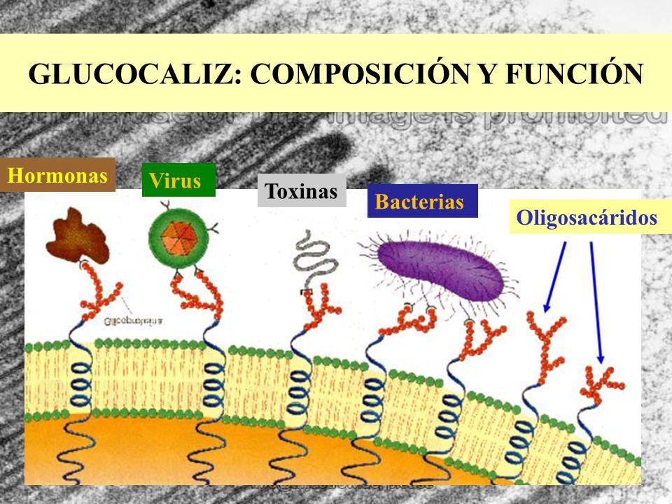 GLUCOCALIZ: COMPOSICIÓN Y FUNCIÓN Oligosacáridos Bacterias Toxinas Virus Hormonas
