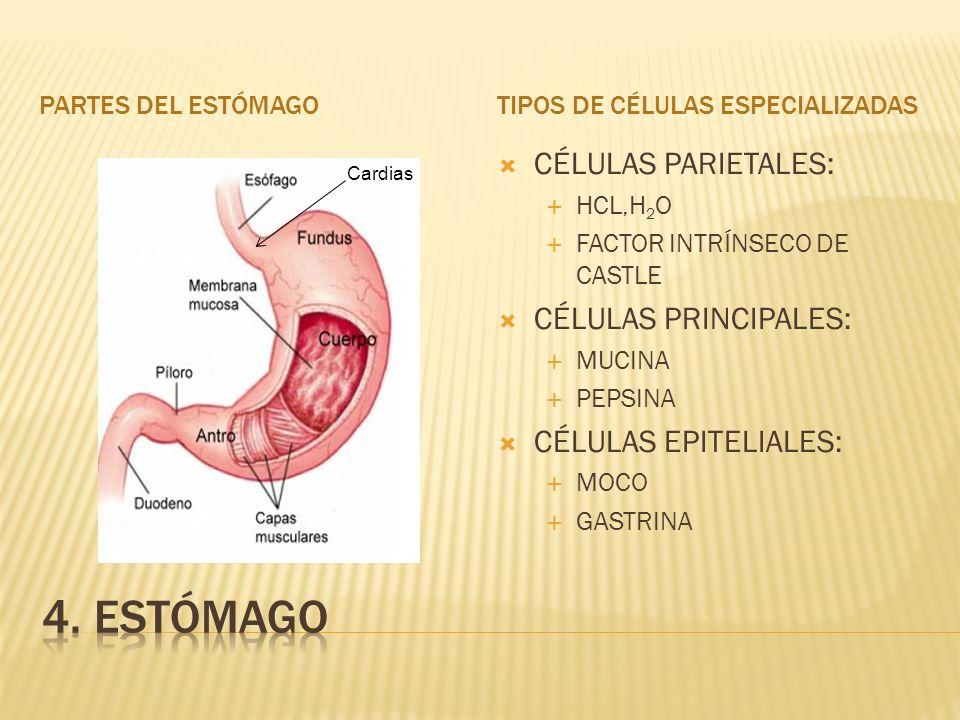 PARTES DEL ESTÓMAGOTIPOS DE CÉLULAS ESPECIALIZADAS CÉLULAS PARIETALES: HCL,H 2 O FACTOR INTRÍNSECO DE CASTLE CÉLULAS PRINCIPALES: MUCINA PEPSINA CÉLULAS EPITELIALES: MOCO GASTRINA Cardias