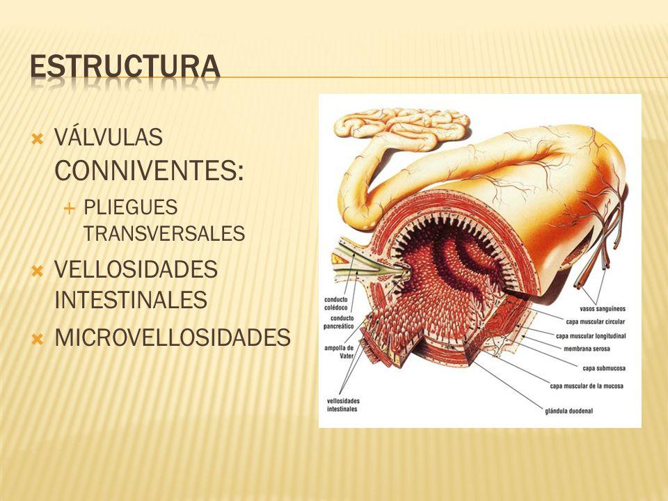VÁLVULAS CONNIVENTES: PLIEGUES TRANSVERSALES VELLOSIDADES INTESTINALES MICROVELLOSIDADES