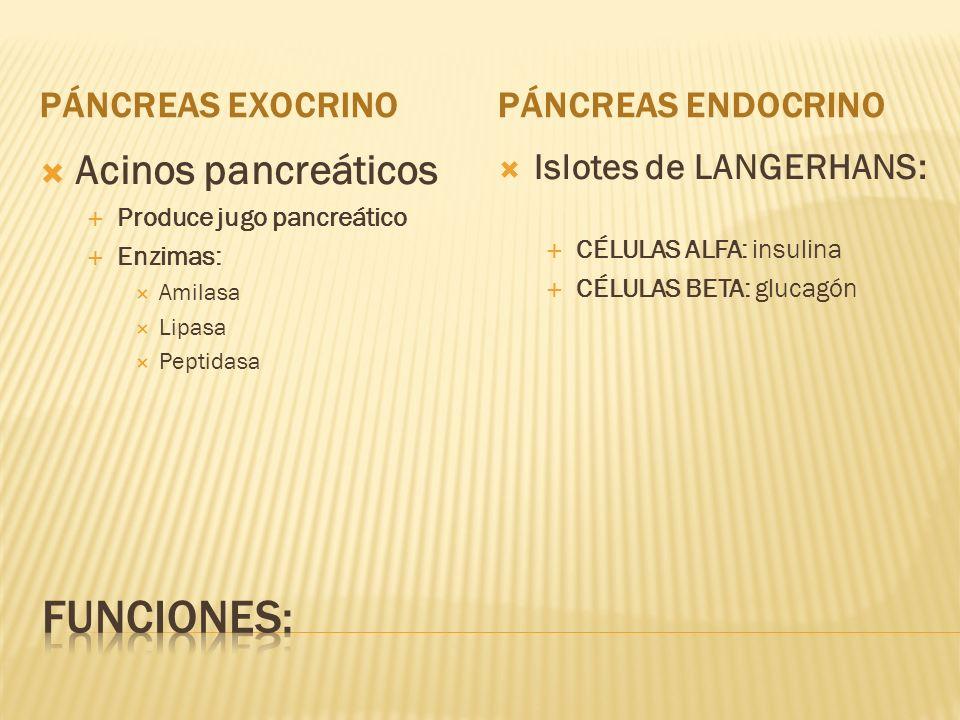 PÁNCREAS EXOCRINOPÁNCREAS ENDOCRINO Acinos pancreáticos Produce jugo pancreático Enzimas: Amilasa Lipasa Peptidasa Islotes de LANGERHANS: CÉLULAS ALFA: insulina CÉLULAS BETA: glucagón