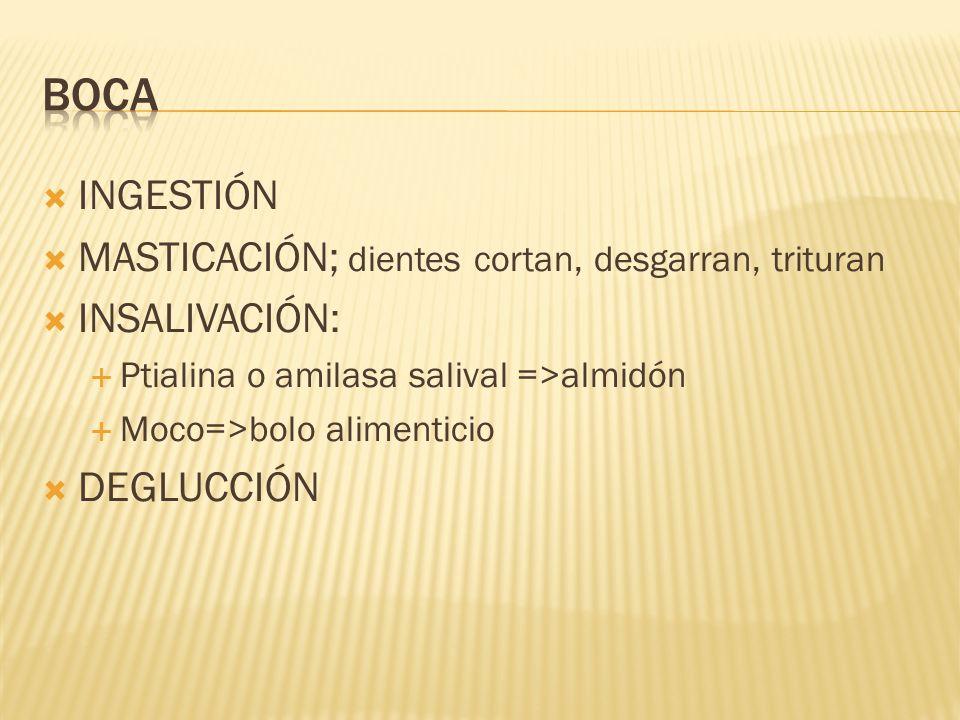 INGESTIÓN MASTICACIÓN; dientes cortan, desgarran, trituran INSALIVACIÓN: Ptialina o amilasa salival =>almidón Moco=>bolo alimenticio DEGLUCCIÓN