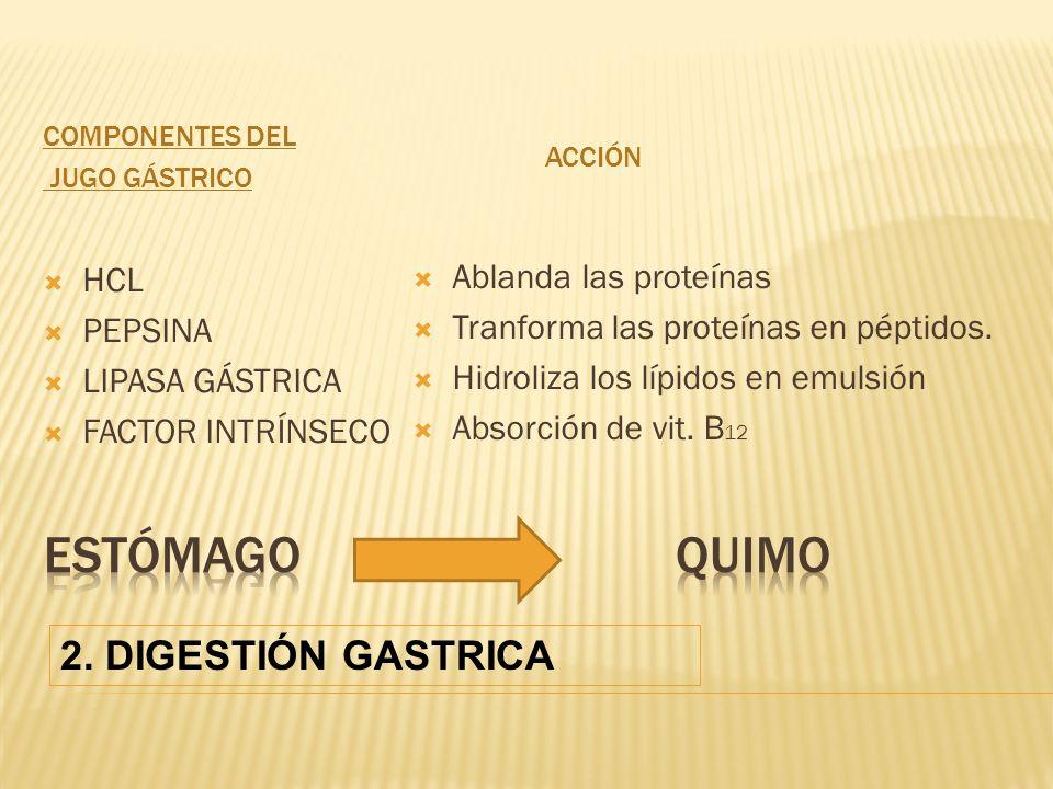COMPONENTES DEL JUGO GÁSTRICO ACCIÓN HCL PEPSINA LIPASA GÁSTRICA FACTOR INTRÍNSECO Ablanda las proteínas Tranforma las proteínas en péptidos.