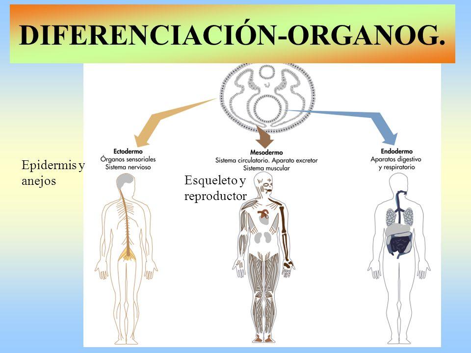 Epidermis y anejos Esqueleto y reproductor DIFERENCIACIÓN-ORGANOG.