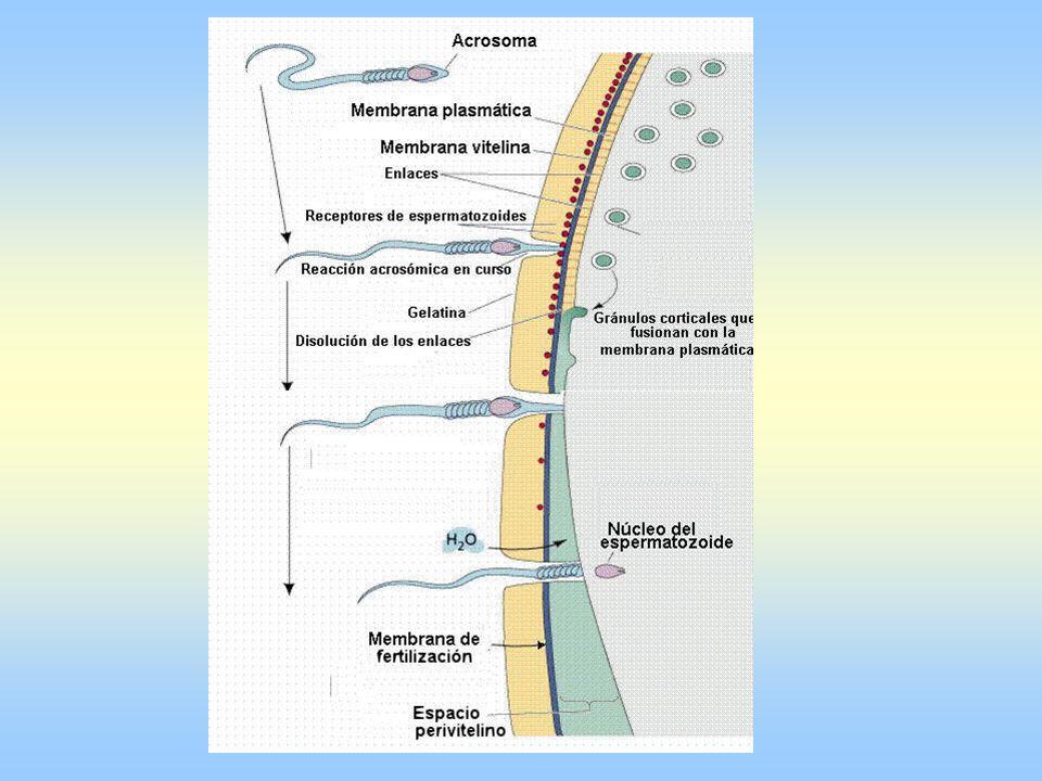 Espermatozoide puede fertilizar durante 72 horas.El ovocito sólo puede ser fecundado en 24 horas.