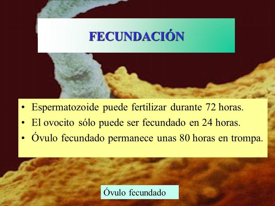 Espermatozoide puede fertilizar durante 72 horas. El ovocito sólo puede ser fecundado en 24 horas. Óvulo fecundado permanece unas 80 horas en trompa.
