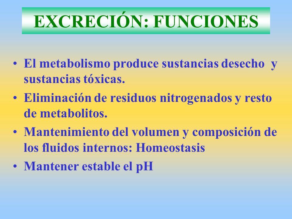 EXCRECIÓN: FUNCIONES El metabolismo produce sustancias desecho y sustancias tóxicas. Eliminación de residuos nitrogenados y resto de metabolitos. Mant
