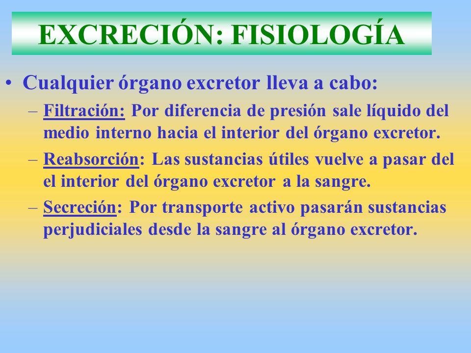 ÓRGANOS EXCRETORES EN: INVERTEBRADOS Esponjas, Celentereos y Equinodermos: –No necesitan aparatos excretores –Están en contacto las células del medio interno con el exterior.