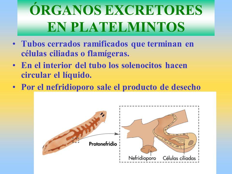 ÓRGANOS EXCRETORES EN PLATELMINTOS Tubos cerrados ramificados que terminan en células ciliadas o flamígeras. En el interior del tubo los solenocitos h