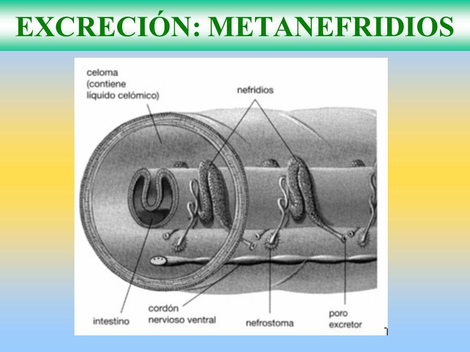EXCRECIÓN: METANEFRIDIOS