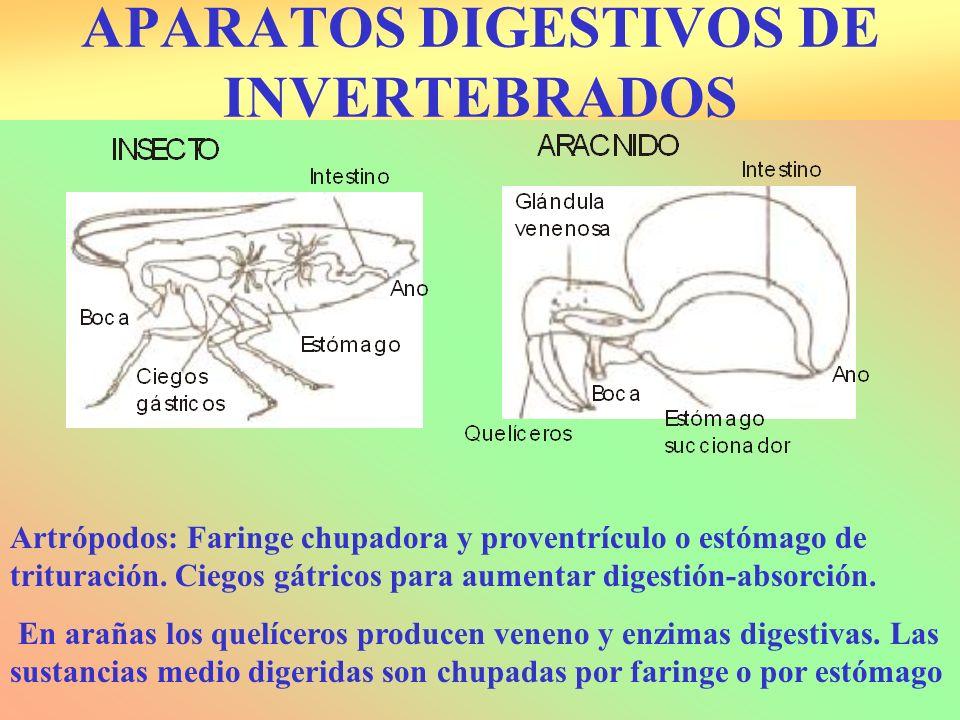 APARATOS DIGESTIVOS DE INVERTEBRADOS Artrópodos: Faringe chupadora y proventrículo o estómago de trituración. Ciegos gátricos para aumentar digestión-