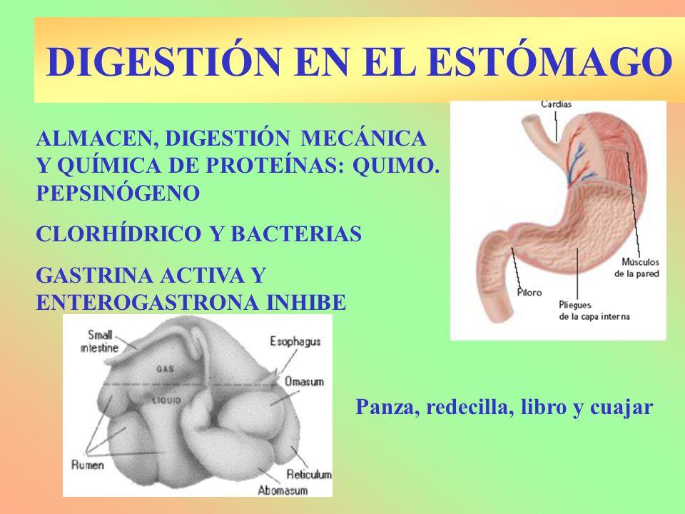 DIGESTIÓN EN EL ESTÓMAGO ALMACEN, DIGESTIÓN MECÁNICA Y QUÍMICA DE PROTEÍNAS: QUIMO. PEPSINÓGENO CLORHÍDRICO Y BACTERIAS GASTRINA ACTIVA Y ENTEROGASTRO
