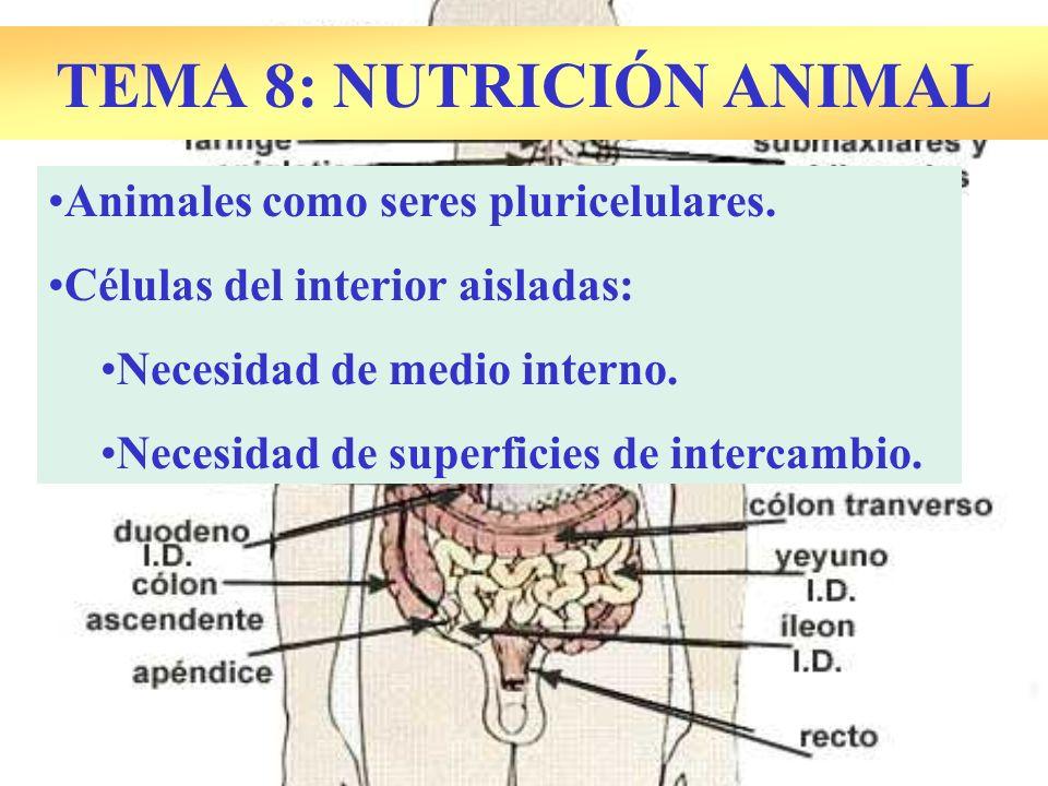SUPERFICIES DE INTERCAMBIO: –ABSORCIÓN DIGESTIVA: Vellosidades intestinales Absorción de nutrientes procedentes de la digestión.
