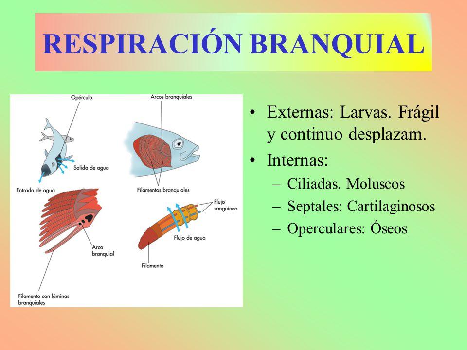 RESPIRACIÓN BRANQUIAL Externas: Larvas. Frágil y continuo desplazam. Internas: –Ciliadas. Moluscos –Septales: Cartilaginosos –Operculares: Óseos