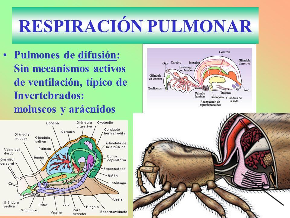 RESPIRACIÓN PULMONAR Pulmones de difusión: Sin mecanismos activos de ventilación, típico de Invertebrados: moluscos y arácnidos