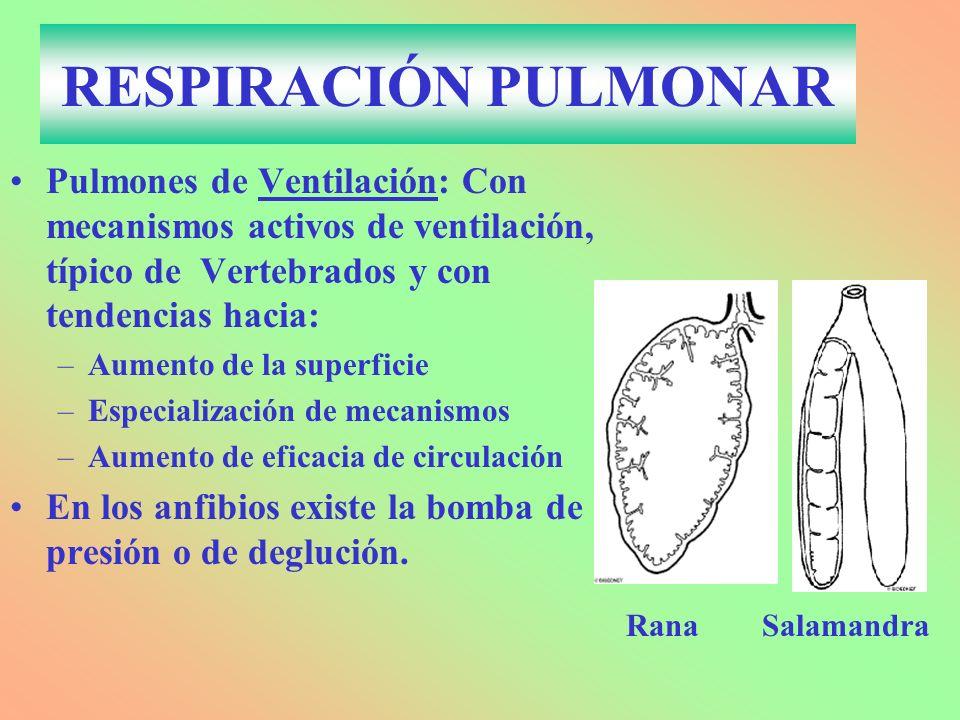 RESPIRACIÓN PULMONAR Pulmones de Ventilación: Con mecanismos activos de ventilación, típico de Vertebrados y con tendencias hacia: –Aumento de la supe