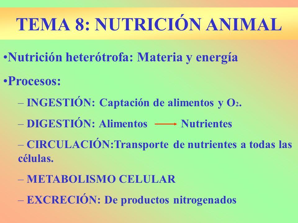 Nutrición heterótrofa: Materia y energía Procesos: – INGESTIÓN: Captación de alimentos y O 2. – DIGESTIÓN: Alimentos Nutrientes – CIRCULACIÓN:Transpor