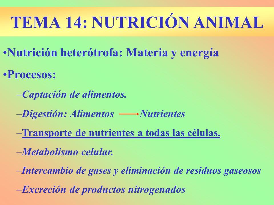 TEMA 14: NUTRICIÓN ANIMAL Nutrición heterótrofa: Materia y energía Procesos: –Captación de alimentos. –Digestión: AlimentosNutrientes –Transporte de n