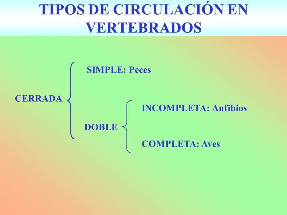 TIPOS DE CIRCULACIÓN EN VERTEBRADOS CERRADA COMPLETA: Aves INCOMPLETA: Anfibios DOBLE SIMPLE: Peces