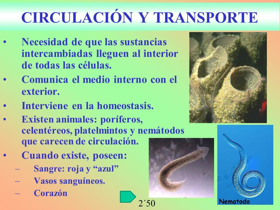 CIRCULACIÓN Y TRANSPORTE Necesidad de que las sustancias intercambiadas lleguen al interior de todas las células. Comunica el medio interno con el ext
