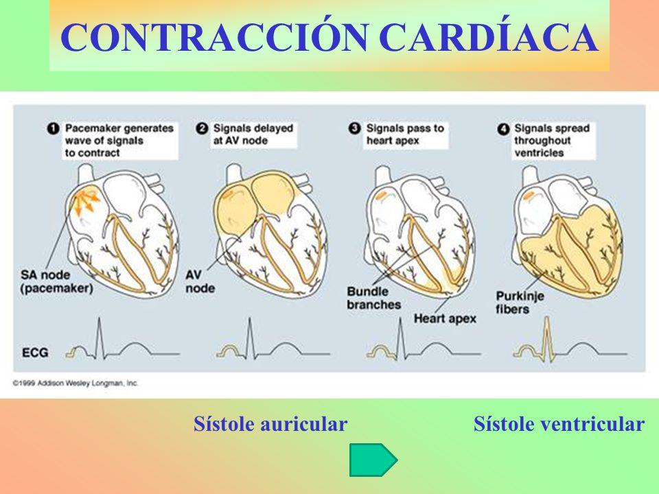 CONTRACCIÓN CARDÍACA Sístole auricularSístole ventricular