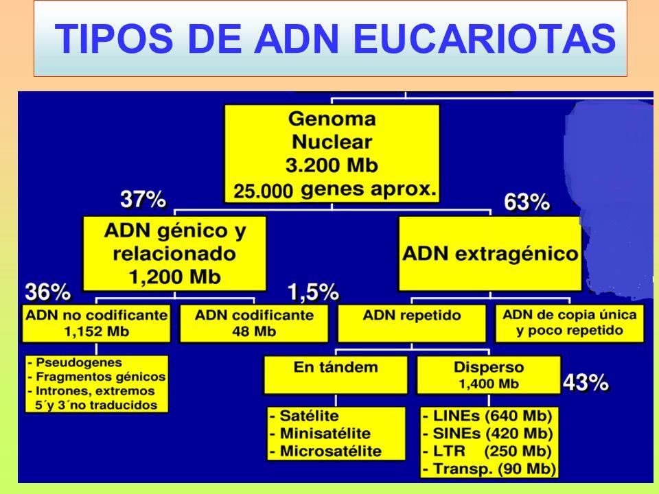 11.3.- TERAPIA GÉNICA HUMANA PRODUCTOSISTEMA DE PRODUCCIÓNINDICACIÓN TERAPÉUTICA ANTICOAGULANTESEscherichia coliInfarto de miocardio HIRUDINASaccharomycesPrevención de trombosis INSULINA Escherichia coli / Saccharomyces Diabetes HORMONA DEL CRECIMIENTO Escherichia coli Retraso del crecimiento y Síndrome de Turner HORMONA PARATIROIDEA Escherichia coliOsteoporosis CALCITONINAEscherichia coliEnfermedad de Plaget GLUCAGÓNSaccharomycesHipoglucemia F.