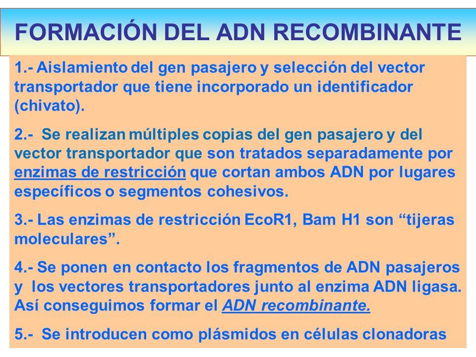 FORMACIÓN DEL ADN RECOMBINANTE 1.- Aislamiento del gen pasajero y selección del vector transportador que tiene incorporado un identificador (chivato).