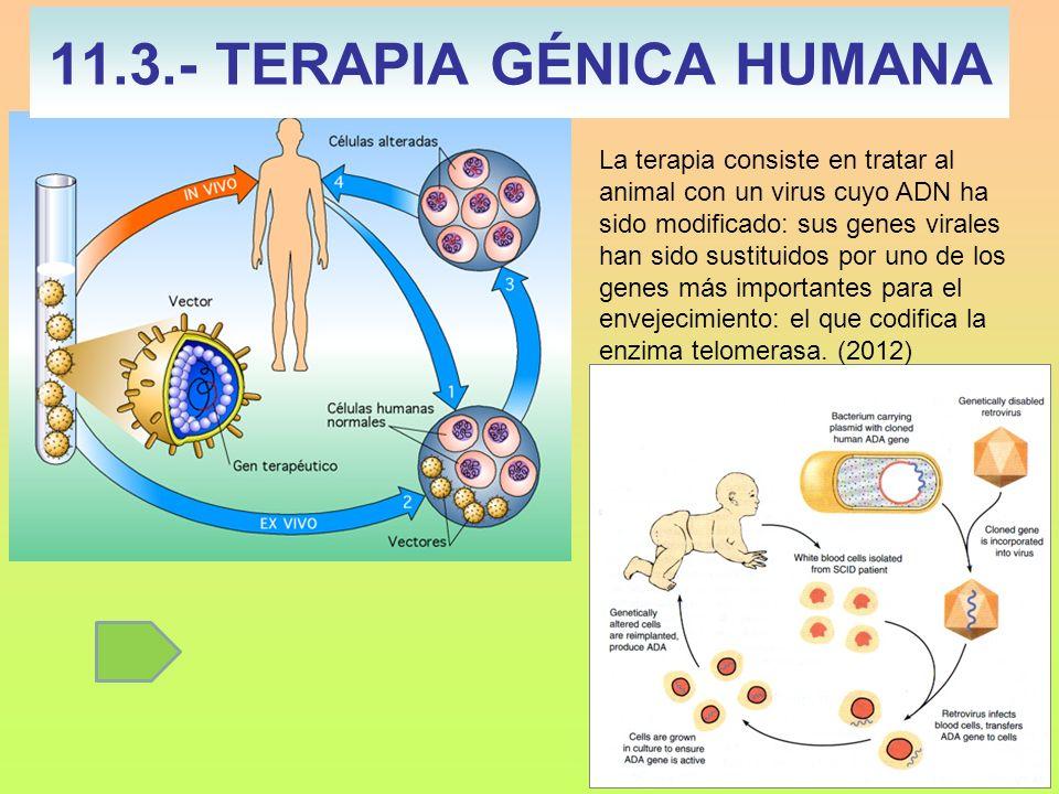 11.3.- TERAPIA GÉNICA HUMANA La terapia consiste en tratar al animal con un virus cuyo ADN ha sido modificado: sus genes virales han sido sustituidos