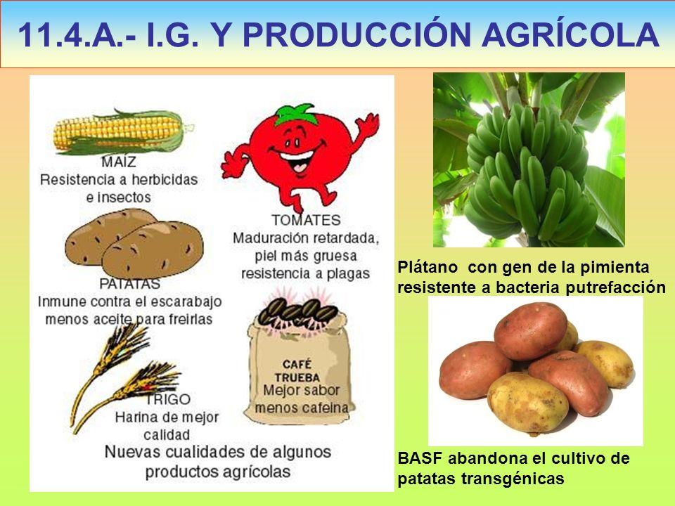 11.4.A.- I.G. Y PRODUCCIÓN AGRÍCOLA Plátano con gen de la pimienta resistente a bacteria putrefacción BASF abandona el cultivo de patatas transgénicas
