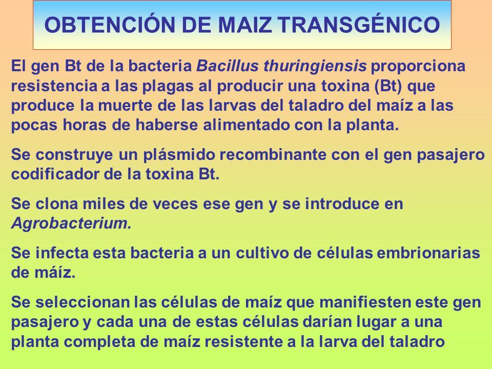 OBTENCIÓN DE MAIZ TRANSGÉNICO El gen Bt de la bacteria Bacillus thuringiensis proporciona resistencia a las plagas al producir una toxina (Bt) que pro