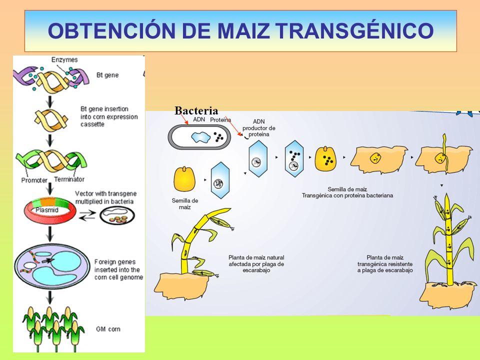 OBTENCIÓN DE MAIZ TRANSGÉNICO Bacteria