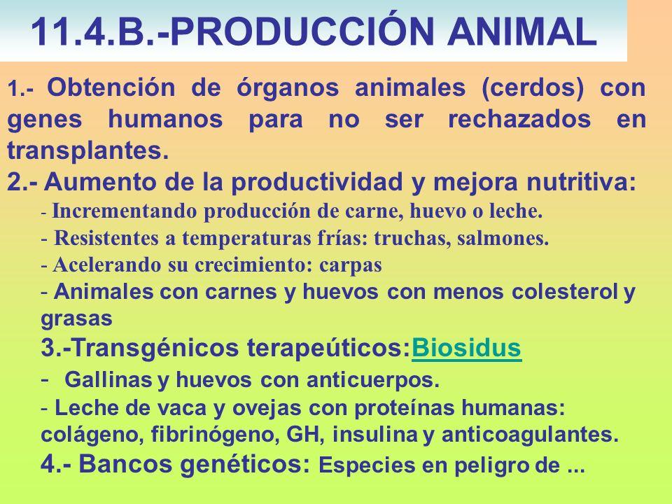 1.- Obtención de órganos animales (cerdos) con genes humanos para no ser rechazados en transplantes. 2.- Aumento de la productividad y mejora nutritiv
