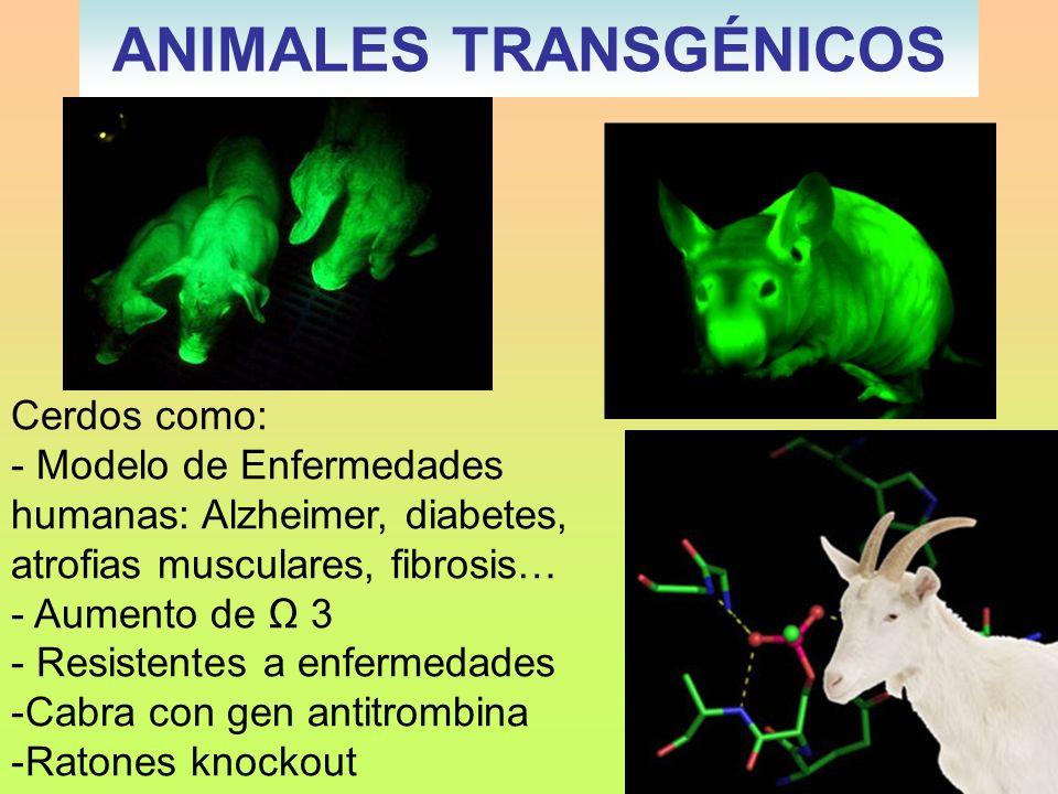ANIMALES TRANSGÉNICOS Cerdos como: - Modelo de Enfermedades humanas: Alzheimer, diabetes, atrofias musculares, fibrosis… - Aumento de 3 - Resistentes
