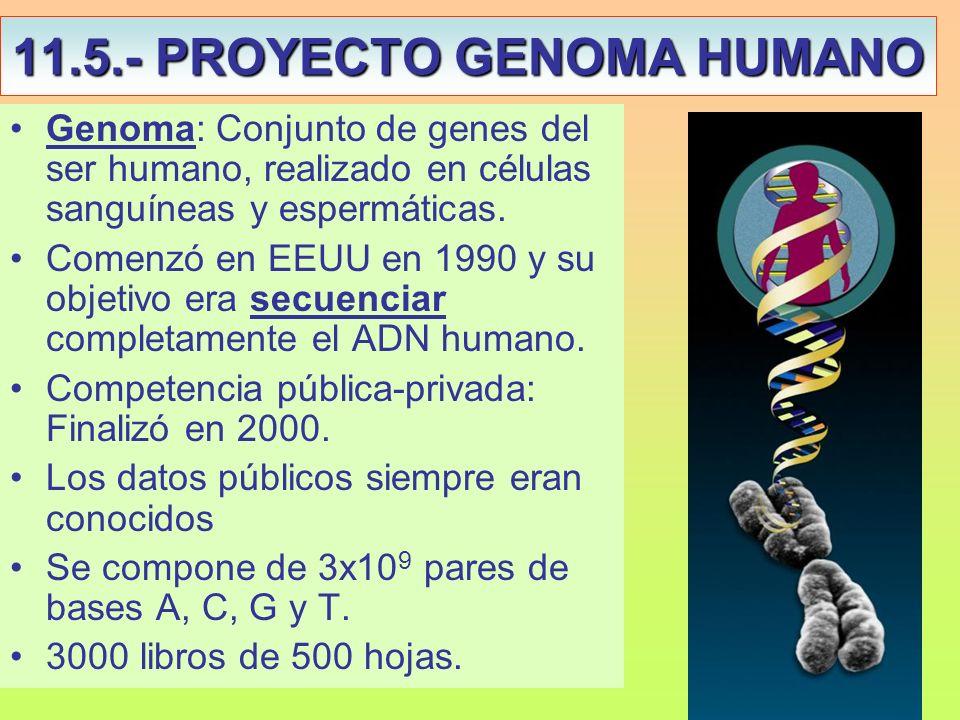 11.5.- PROYECTO GENOMA HUMANO Genoma: Conjunto de genes del ser humano, realizado en células sanguíneas y espermáticas. Comenzó en EEUU en 1990 y su o