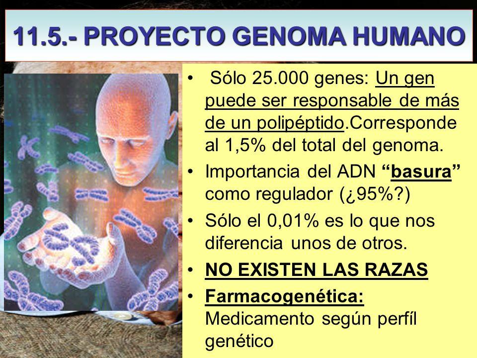 11.5.- PROYECTO GENOMA HUMANO James Watson Sólo 25.000 genes: Un gen puede ser responsable de más de un polipéptido.Corresponde al 1,5% del total del