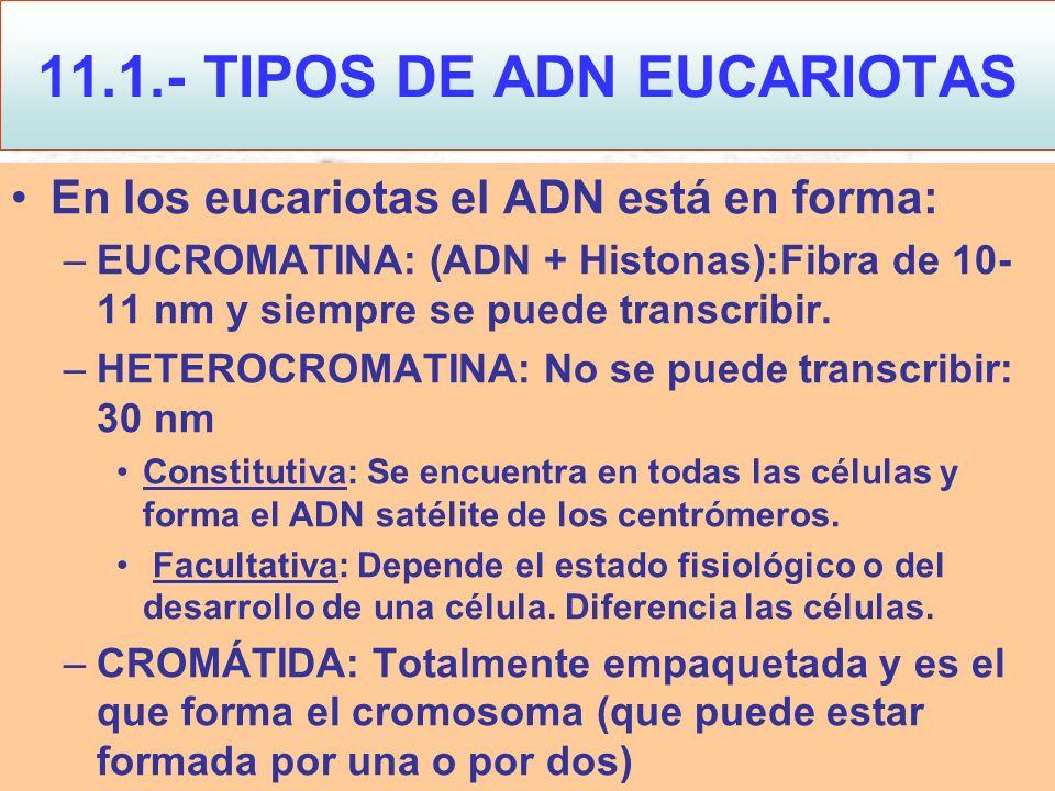 En los eucariotas el ADN está en forma: –EUCROMATINA: (ADN + Histonas):Fibra de 10- 11 nm y siempre se puede transcribir. –HETEROCROMATINA: No se pued