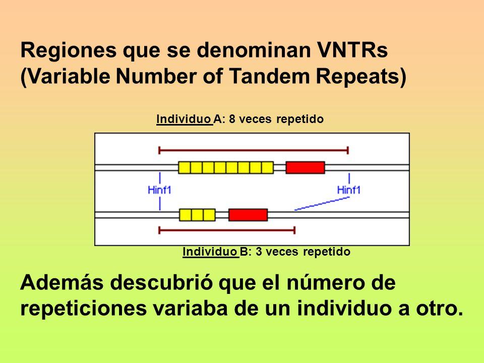 Regiones que se denominan VNTRs (Variable Number of Tandem Repeats) Además descubrió que el número de repeticiones variaba de un individuo a otro. Ind