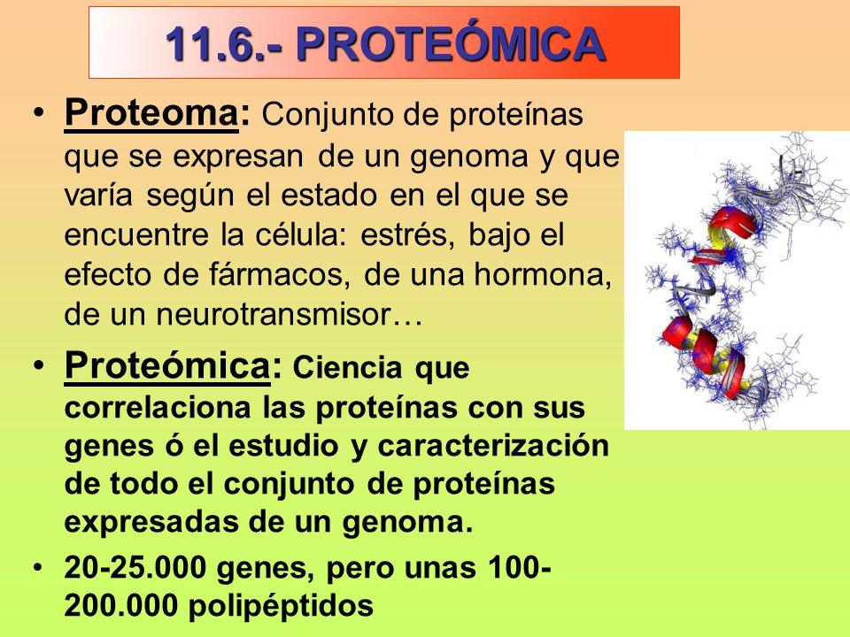Proteoma: Conjunto de proteínas que se expresan de un genoma y que varía según el estado en el que se encuentre la célula: estrés, bajo el efecto de f