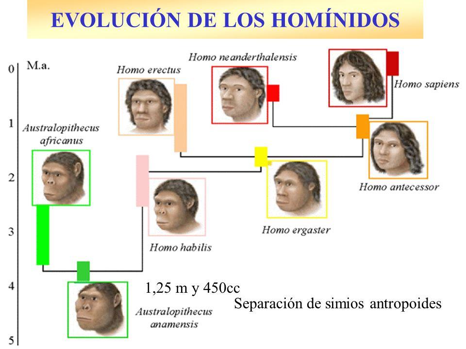 EVOLUCIÓN DE LOS HOMÍNIDOS Separación de simios antropoides 1,25 m y 450cc