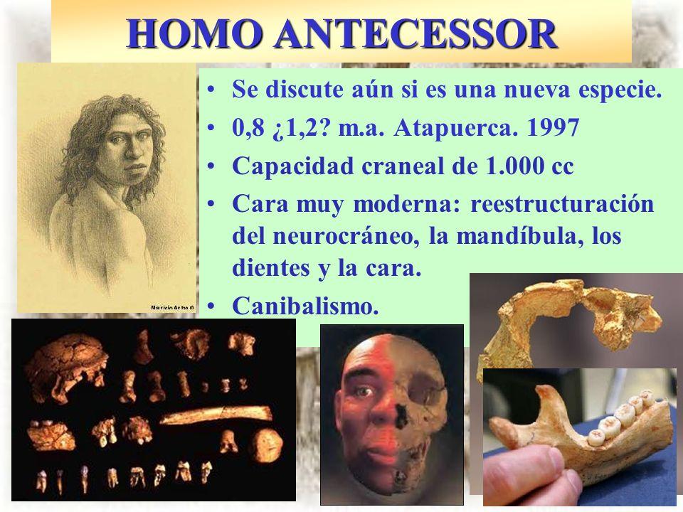 Se discute aún si es una nueva especie. 0,8 ¿1,2? m.a. Atapuerca. 1997 Capacidad craneal de 1.000 cc Cara muy moderna: reestructuración del neurocráne