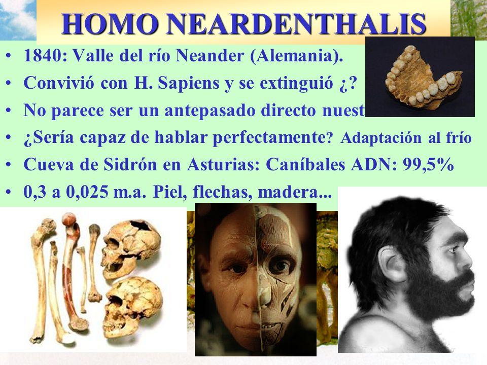 1840: Valle del río Neander (Alemania). Convivió con H. Sapiens y se extinguió ¿? No parece ser un antepasado directo nuestro. ¿Sería capaz de hablar