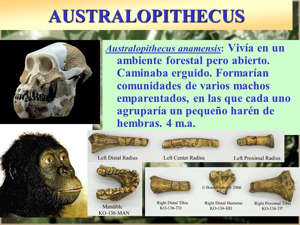 AUSTRALOPITHECUS Australopithecus anamensis: Vivía en un ambiente forestal pero abierto. Caminaba erguido. Formarían comunidades de varios machos empa