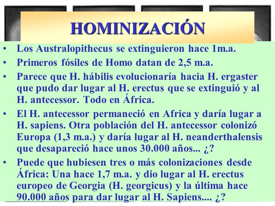 Los Australopithecus se extinguieron hace 1m.a. Primeros fósiles de Homo datan de 2,5 m.a. Parece que H. hábilis evolucionaría hacia H. ergaster que p