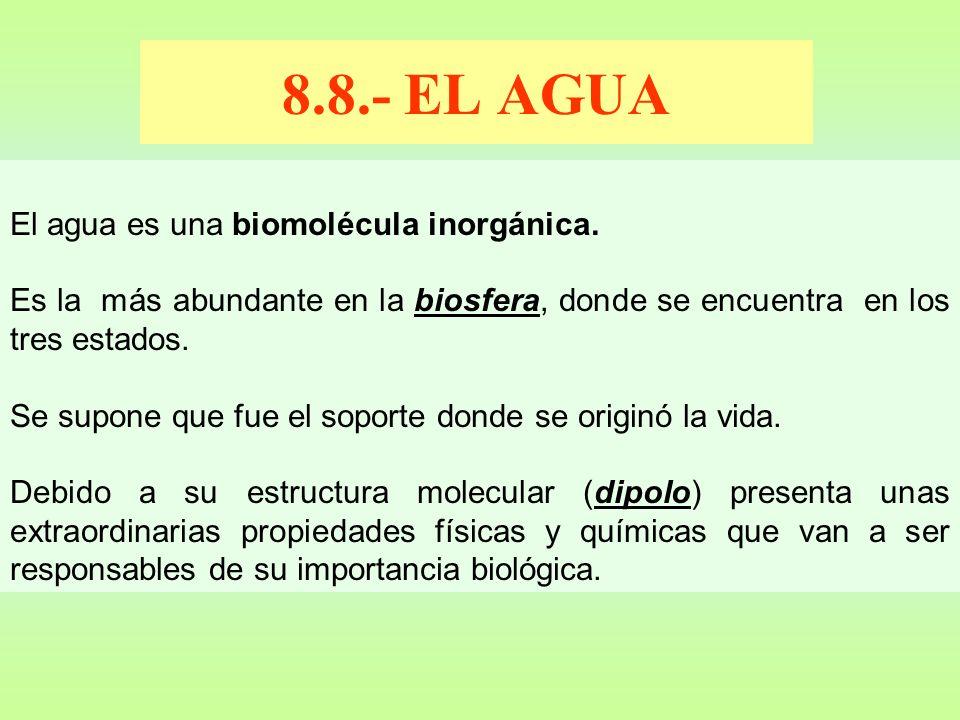 8.8.- EL AGUA El agua es una biomolécula inorgánica. Es la más abundante en la biosfera, donde se encuentra en los tres estados. Se supone que fue el