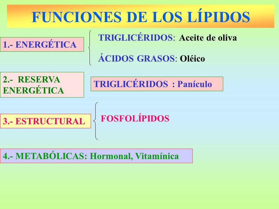 FUNCIONES DE LOS LÍPIDOS 1.- ENERGÉTICA ÁCIDOS GRASOS: Oléico TRIGLICÉRIDOS: Aceite de oliva FOSFOLÍPIDOS 3.- ESTRUCTURAL 2.- RESERVA ENERGÉTICA TRIGL
