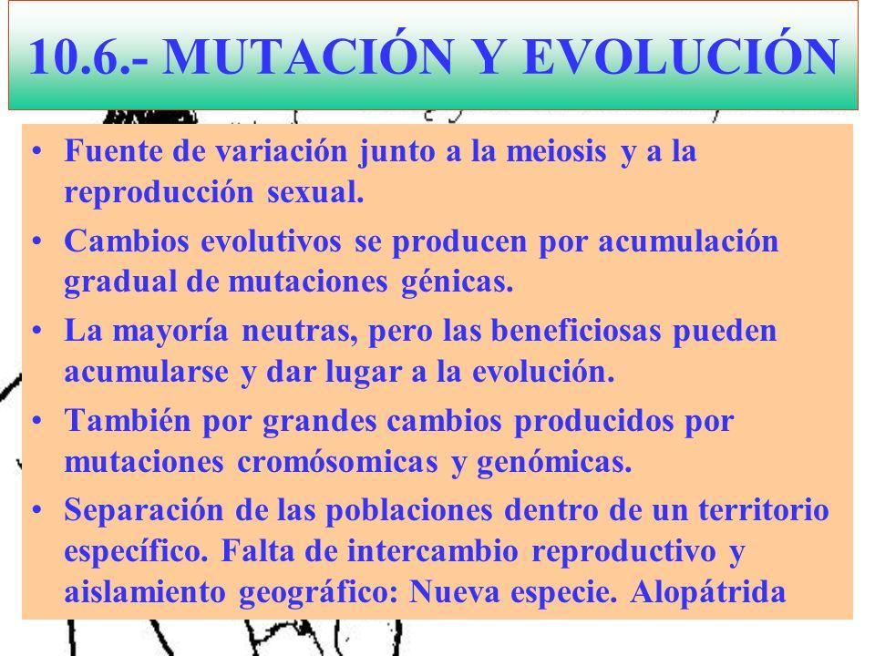 10.6.- MUTACIÓN Y EVOLUCIÓN Fuente de variación junto a la meiosis y a la reproducción sexual. Cambios evolutivos se producen por acumulación gradual