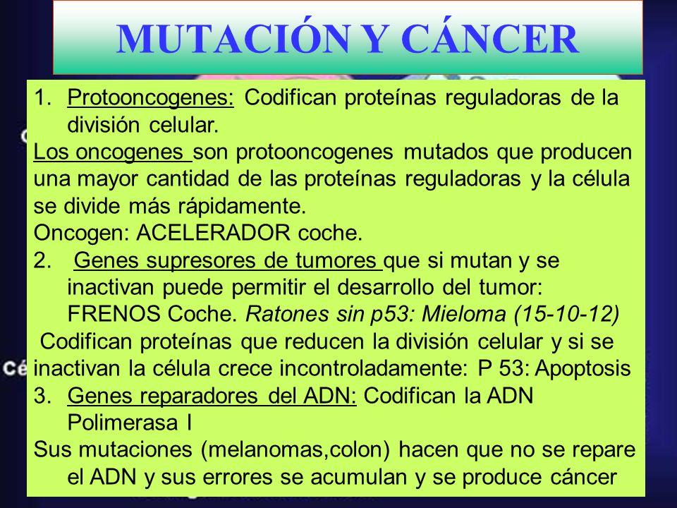 MUTACIÓN Y CÁNCER 1.Protooncogenes: Codifican proteínas reguladoras de la división celular. Los oncogenes son protooncogenes mutados que producen una