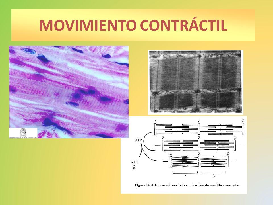 Tipo de reproducción sexual.Línea germinal Forma gametos: óvulos y espermatozoides.