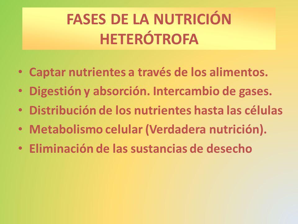 FASES DE LA NUTRICIÓN HETERÓTROFA Captar nutrientes a través de los alimentos. Digestión y absorción. Intercambio de gases. Distribución de los nutrie