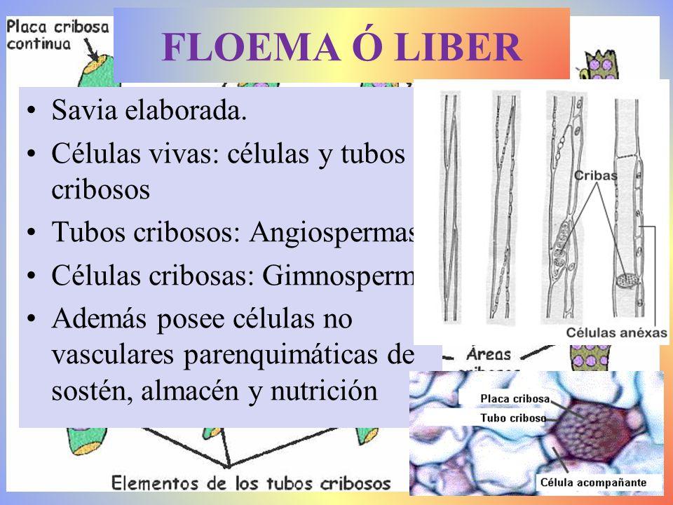 FLOEMA Ó LIBER Savia elaborada. Células vivas: células y tubos cribosos Tubos cribosos: Angiospermas Células cribosas: Gimnosperm Además posee células