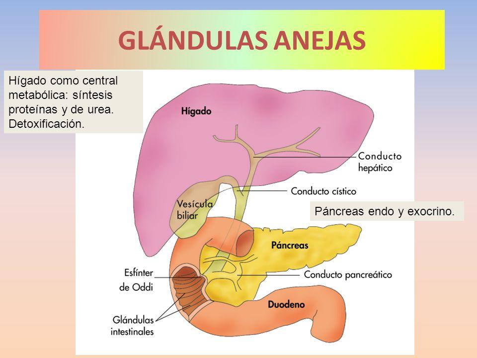 GLÁNDULAS ANEJAS Hígado como central metabólica: síntesis proteínas y de urea. Detoxificación. Páncreas endo y exocrino.